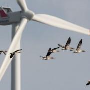 Vögel vor Windrad: Viele Tiere sterben qualvoll Foto: dpa