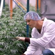 Anbau von Hanfpflanzen in Kanada: Medizinisch nun erlaubt Foto:     picture alliance/AP Images