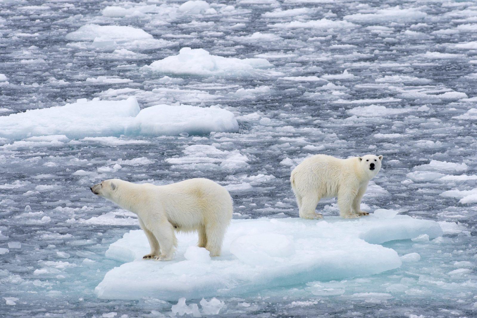 Eisbären in Norwegen