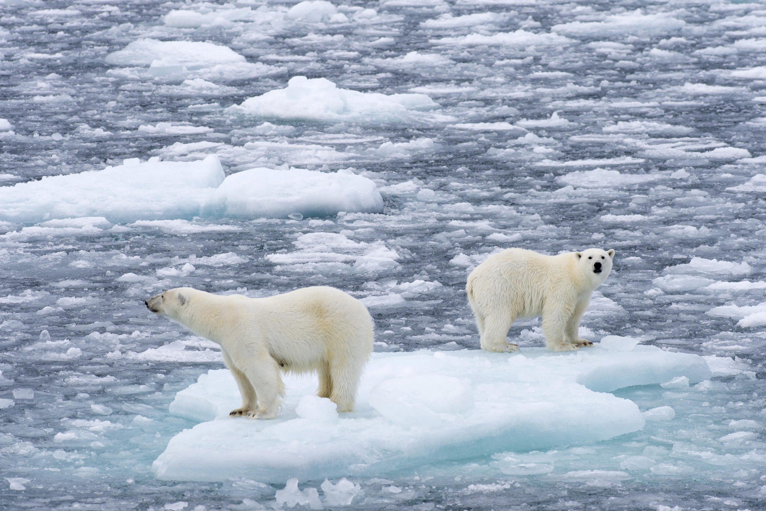 Eisbären (Ursus maritimus), Weibchen und Jungtier auf einer Eisscholle im Packeis, Insel Spitzbergen, Inselgruppe Spitzbergen, Svalbard und Jan Mayen, Norwegen, Europa / dpa