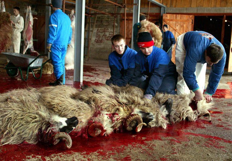 Beim Schächten wird den Tieren ohne Betäubung durch einen Halsschnitt getötet (Archivbild) Foto: picture-alliance / dpa | epa Fehim Demir